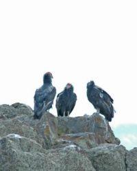 condors near Bryce