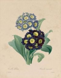 "Primula bear. ""Selection of the most beautiful flowers"" - 1827"
