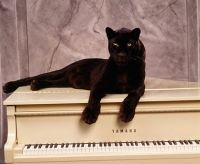 Panther resting on the piano!