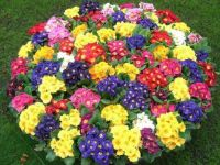 Multi-colored Primroses