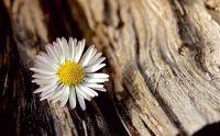 white-flower-chamomile-tree-bark