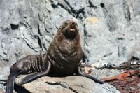 Fur Seal, Cook Strait, New Zealand