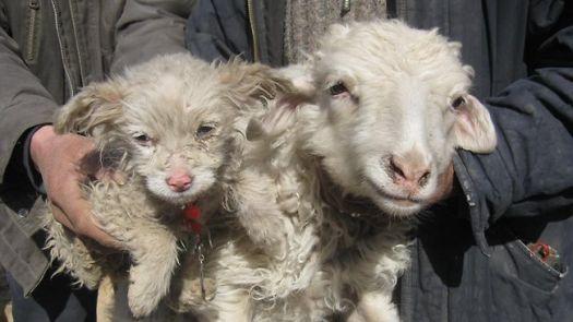 989258-sheep-gives-birth-to-a-dog