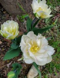 white double tulip