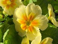 Yellow English Primrose