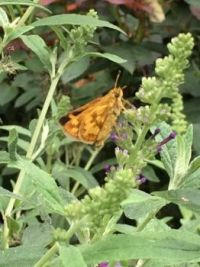 Peck's skipper--more challenging