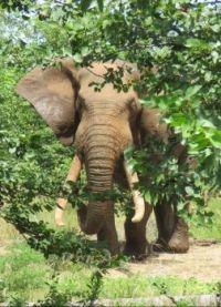 Tusker in Letaba, Kruger Park