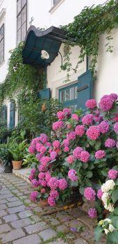 Traumhaft schöne Hortensien
