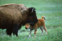 mother love american-bison-and-calf-yellowstone