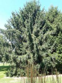 Majestic Evergreen