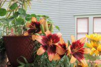 Back Porch Lilies