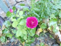 Ebb Tide Rose  5-24-13
