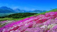 Field of Phlox Flowers