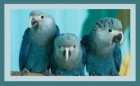 Spix's Macaw - considered extinct in the wild