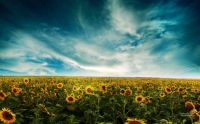 sunflowers-land-by-deinha