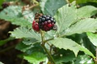 Blackberry. Although ripe, I decided to leave it to the insects on it!!