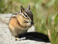 Local Chipmunk