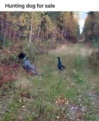 Hunting Dog For Sale