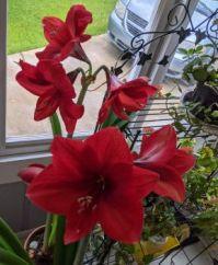 More of Mom's amaryllis.