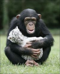 Chimp with White Tiger Cub