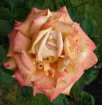 Another magnificent rose