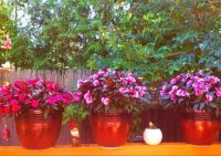 Three large Pink and Fuschia Impatiens