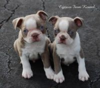 Champagne Boston Terriers