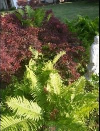 japanese maple and ferns