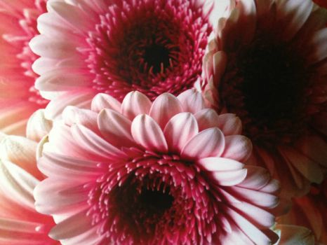Gerbera Daisies from the farmer's market