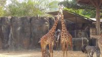 Giraffes at the Houston Zoo