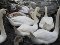 Swans at The Mere, Scarborough