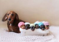 Proud sausage dog poses with her tiny sausages.