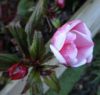 Impatiens (close up)