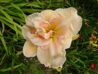 big kiss-daylily