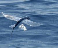 Flying Fish - Barbados