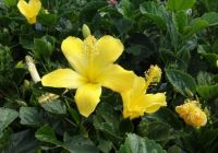 A bright yellow hibiscus today.
