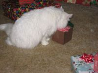 Fancy The Christmas Cat opens her gift