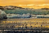 Cranes Feeding At Sunset, Bosque Del Apache National Wildlife Refuge