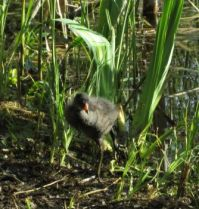 Young Moorhen chick