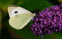 large cabbage white on my Buddleja