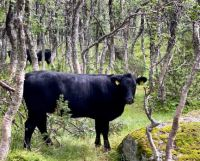 Cows in mountain forest