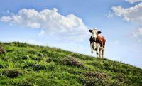 cow-3466106_1280