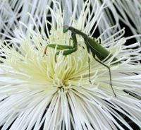 Praying Mantis on Spider Mum - #2