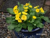Yellow Polyanthus