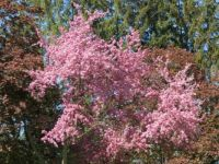 My paler Crabapple tree