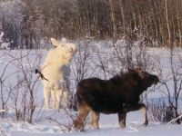 A rare sight, the albino moose...