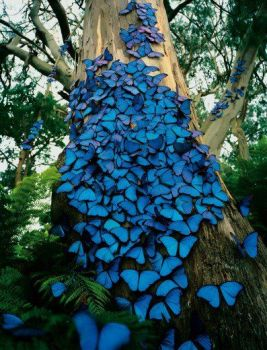Blue Butterfly covered tree
