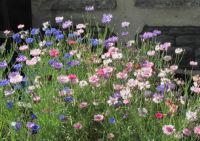 mixed scabious