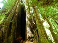 Cathedral Redwoods