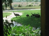 A Visit From Wild Turkeys_4
